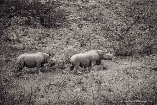 A Mama Black Rino With Her Child