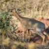 Dik Dik, The Animal With The Coolest Name