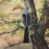 Yellow-Billed Hornbill, Also Know As A Flying Banana
